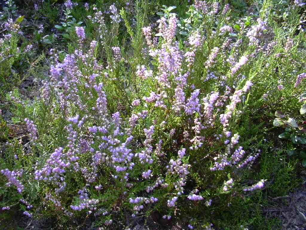 http://www.mur-paien.fr/images/botanique/thym.jpg